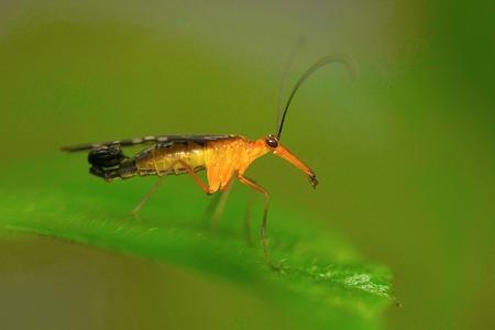 Scorpion fly , Aarey Milk Colony , INDIA
