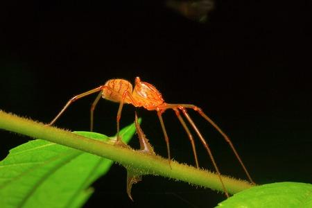Spitting spider, Aarey Milk Colony , INDIA Stock Photo