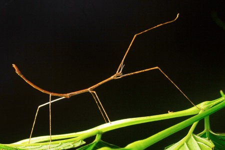 Stick mantis, Aarey Milk Colony ,INDIA Stock Photo
