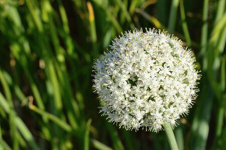 Onion flower, near Pune