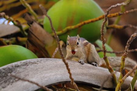 Squirrel, Bangalore, Karnataka. A diurnal mammal of the family of rodents Stock Photo