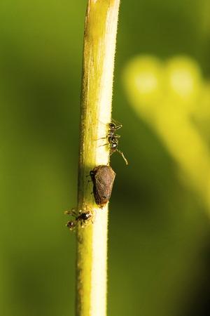Ants and leaf hopper, Sanjay Gandhi National Park, Mumbai