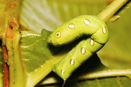 Hawk moth caterpillar, Sanjay Gandhi National Park, Mumbai
