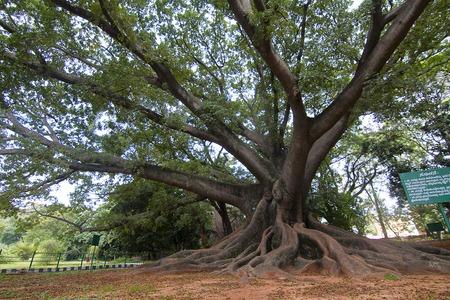 Silk cotton tree, Bombax sp., Bangalore, Karnataka. A large silk cotton tree in Lalbaugh garden Stock Photo