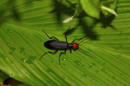 Blister Beetle from Chorla Ghat Maharashtra India Reklamní fotografie