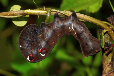 Hawk Moth Caterpillar, Chorla Ghat, Maharashtra India