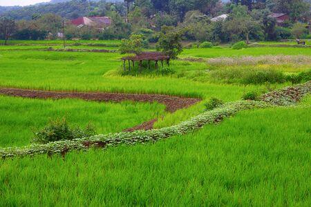 Rice Field from Tung of Maharashtra during monsoon season India