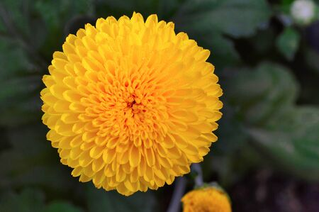 Close up of yellow Inca marigold or Culcutta Zendu at Pune