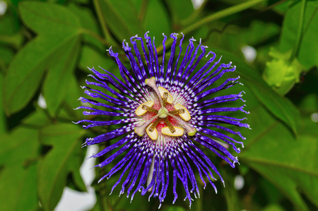 Passion flower also known as Krishna-kamal at Pune