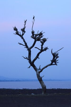 Birds nest on a dead tree near Veer dam, Maharashtra, India Stock Photo