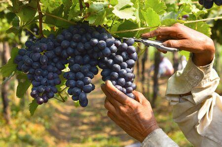 Grape harvesting near Sangli Maharashtra state of India