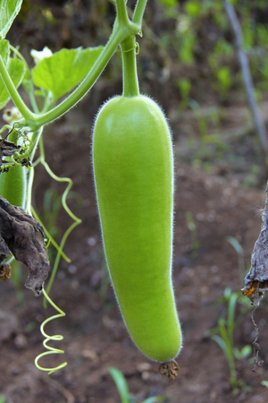Raw bottle gourd, dudhi bhopla or Lagenaria siceraria in a farm at Khedshivapur at Pune Banque d'images - 99080476