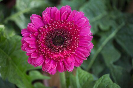 Close up of Pink gerbera jamesonii flower, Empress garden, Pune