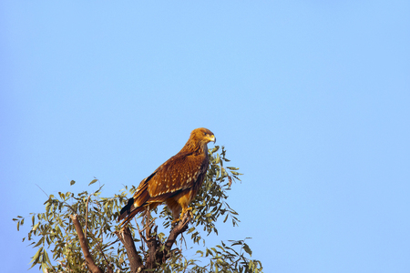 Eastern Imperial Eagle, Aquila heliaca, Little Rann of Kutch, Gujarat, India Stock Photo