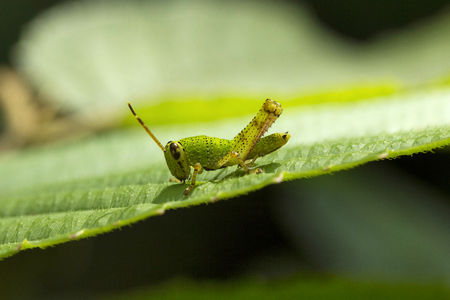 Grasshopper, Acrididaey, Aarey milk colony Mumbai  India Stock Photo