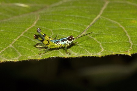 Grasshopper, Agumbe ARRSC, Karnataka state of India