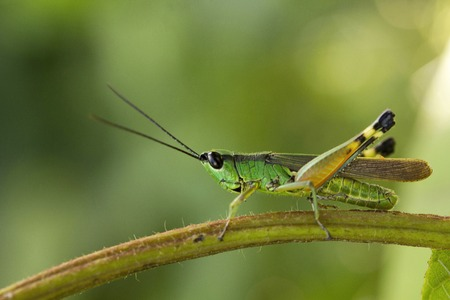 Grasshopper, Jampue hills, Tripura state of India