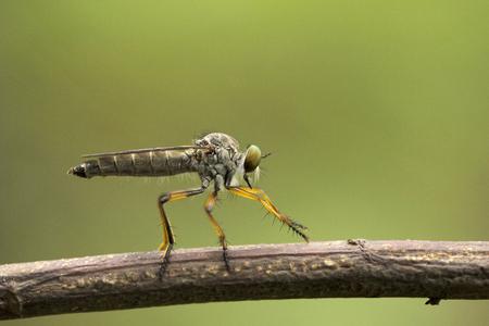 Robber fly, Asiloidae, Aarey milk colony Mumbai , India
