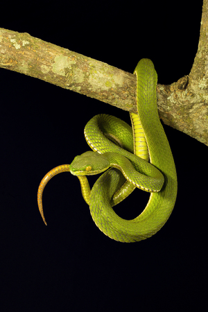 Red tailed pit viper, Trimeresurus erythrurus, Viperidae, Gumti, Tripura state of India