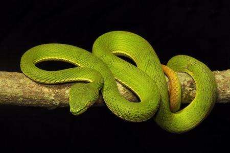 Red tailed pit viper, Trimeresurus erythrurus, Viperidae, Gumti, Tripura state of India