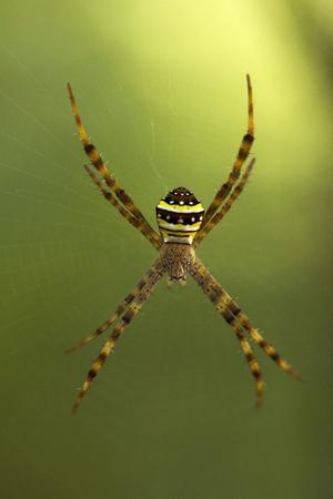 Signature Spider, Argiope sp, Araneidae ManuTripura India Stock Photo - 103149979