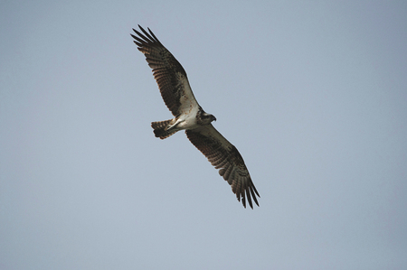 The osprey, Pandion haliaetus - also called fish eagle, sea hawk, river hawk, and fish hawk, India