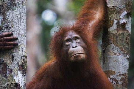 Orangután, Indonesia. Originarios de Indonesia y Malasia, los orangutanes se encuentran actualmente solo en las selvas tropicales de Borneo y Sumatra. Los orangutanes son los más arbóreos de los grandes simios y pasan la mayor parte del tiempo en los árboles. Los orangutanes se encuentran entre los primates más inteligentes. Foto de archivo