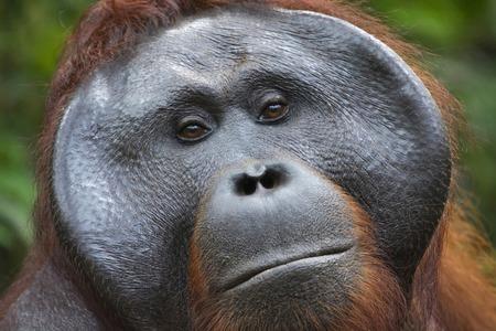 Close-up of male Orangutan in Borneo from Indonesia 版權商用圖片
