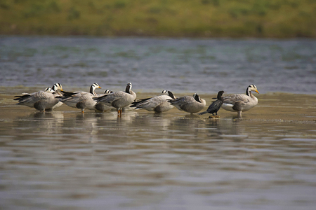 The Bar-headed Goose, Anser indicus is a goose. Chambal river, Rajasthan, India.