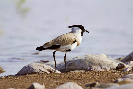 River lapwing, Vanellus duvaucelii, Chambal river, Rajasthan state of India