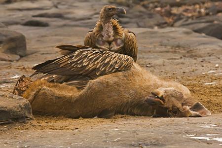 Himalaya-Geier oder Gyps himalayensis ernähren sich von Sambar, Panna Tiger Reserve, Madhya Pradesh, Indien Standard-Bild