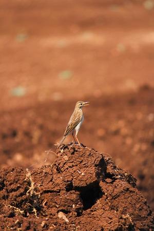 Richard's pipit, Anthus richardi, Pune, Maharashtra, India