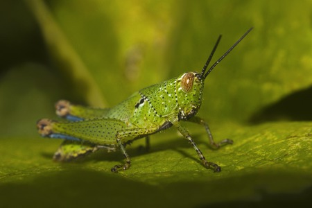 Close-up of Grasshopper, Bandhavgarh Tiger Reserve outskirts of Madhya Pradesh, India Reklamní fotografie