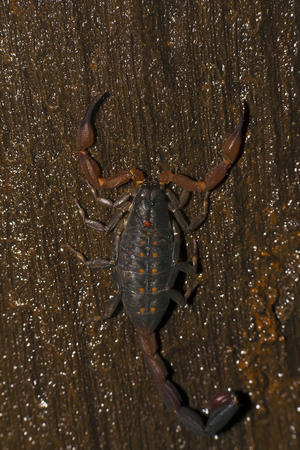 Scorpion of Lychus sp., Sharavathi Wildlife Sanctuary from Karnataka India