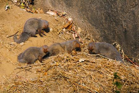 Familia de la mangosta gris en Mount Abu, Rajasthan, India