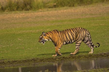 Tigre, Panthera tigris tigris, Reserva de Tigres de Ranthambhore del estado de Rajasthan de la India Foto de archivo