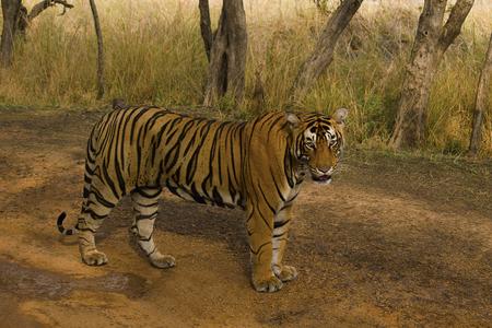 Tigre, Panthera tigris tigris, Reserva de Tigres de Ranthambhore del estado de Rajasthan de la India