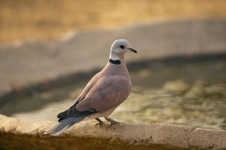 Red Turtle Dove,  Streptopelia tranquebarica, Jhalana, Rajasthan state of India Banque d'images - 107573633
