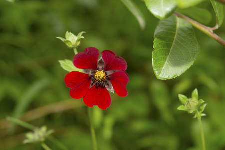 Ruby cinquefoil has very beautiful leaves with a silvery sheen and silvery edges. They contrast beautifully with the blood red flowers. The plants form clumps of relatively tidy leaves Reklamní fotografie - 107636999