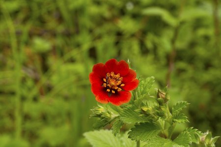 Ruby cinquefoil has very beautiful leaves with a silvery sheen and silvery edges. They contrast beautifully with the blood red flowers. The plants form clumps of relatively tidy leaves