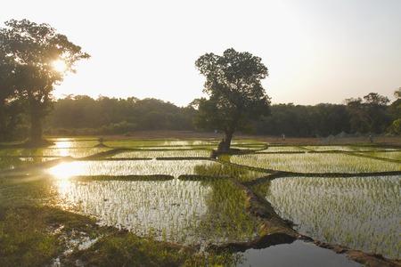 Sun reflection in a rice field, Kueshi village, Goa, India