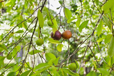 Local kokum fruit on a tree Garcinia indica, Goa, India Stock Photo