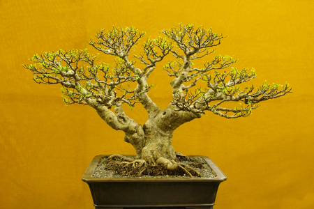 Bonsai tree, Ficus Microcarpa, Bonsai tree exhibition at Pune