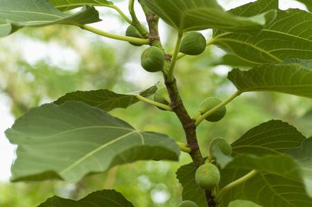 Tree with green figs near Pune, Maharashtra 免版税图像