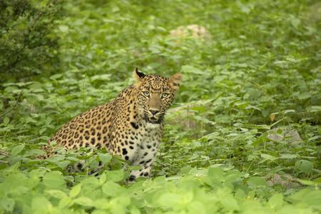 Indian leopard, Panthera pardus fusca, Jhalana, Rajasthan state of India Stock Photo