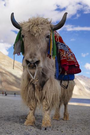 Domestic yak, Bos grunniens, Pangong Lake, Jammu and Kashmir state of India Imagens
