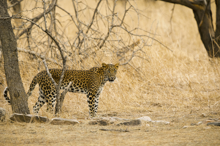 Indian leopard, Panthera pardus fusca, Jhalana, Rajasthan state of India