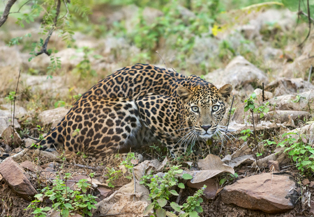 Leopard at Tadoba National Park, Chandrapur district, Maharashtra, India Stock Photo