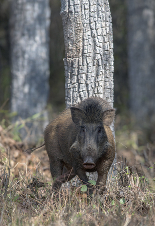 Wild boar, Tadoba National Park, Chandrapur district, Maharashtra India
