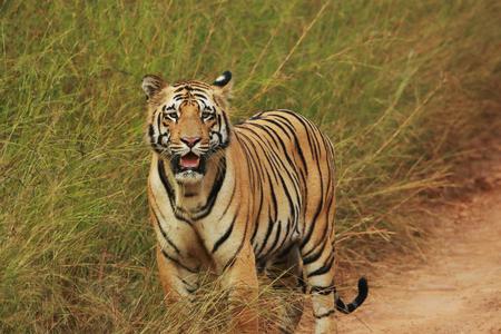 Tiger, Panthera Tigris, Tadoba National Park, Maharashtra, India